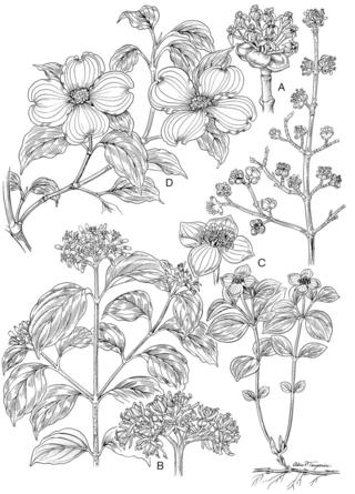 Cornus, Illustration by Alice Tangerini