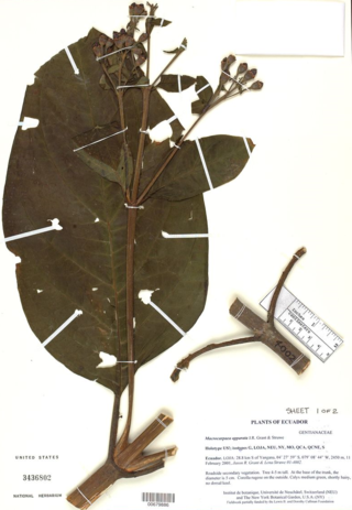 The holotype of Macrocarpaea apparata J.R. Grant & Struwe is housed in the US National Herbarium.