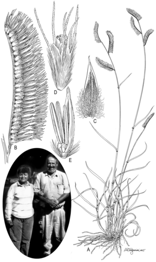 Yolanda Herrera Arrieta (photo taken by P.M. Peterson, Oct 2000) and Bouteloua herrera-arrieta P.M. Peterson & Romasch. A. Habit. B. Inflorescence branch. C. Upper glume. D. Florets. Drawn by Alice Tangerini.