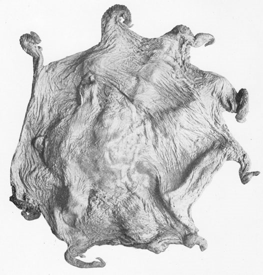 The original specimen of O. pluto by S.S Berry in 1918