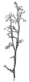 "Cladonia rangiferina is called ""Tsaa hag,"" literally ""reindeer lichen,"" by the Tsaatan.  (Illustration by Wm. Keith Harrison)"