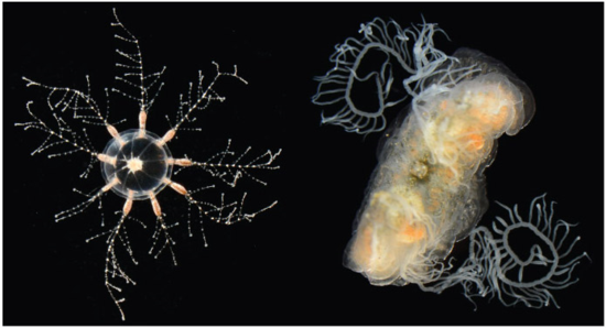 Two new denizens of the IZ AquaRoom, the hydrozoan jellyfish Cladonema on the left and the benthic ctenophore Vallicula multiformis on the right. (Images by Allen Collins)