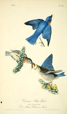 BluebirdAudubon