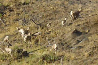 Bighorn sheep grazing