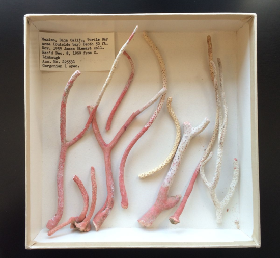 Figure 1. Pieces of an unidentified gorgonian octocoral collected in Baja California were quietly sitting in a box for over 55 years.  Notice the original label in the top left corner.