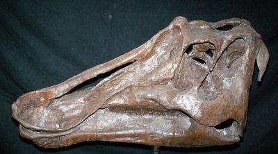 ProsaurolophusUSNM12712