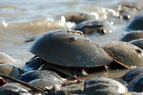 El apareamiento atrae a los cangrejos herradura hacia aguas poco profundas, donde pueden ser capturados fácilmente (y luego liberados). (Crédito: Breese Greg, U.S. Fish and Wildlife Service, Wikipedia)