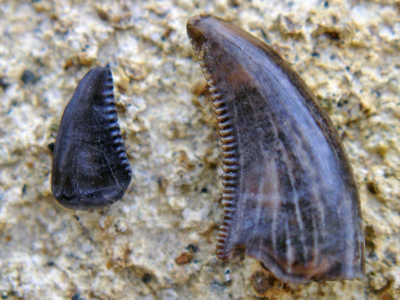 Theropod teeth