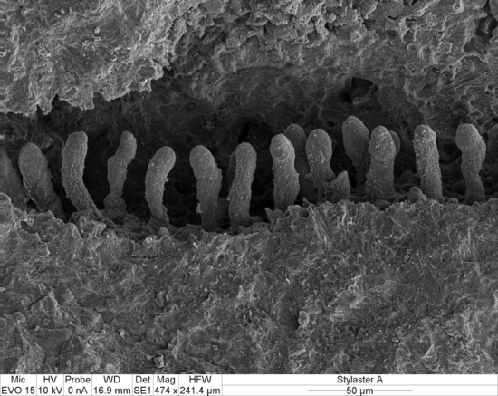 Fig. 3. A dactylostyle (SEM, magnification x474).