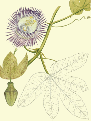 Example of one of Stahl's watercolor images digitally restored by Fiona Wilkinson published in Volume II, Fascicle IV. WATERCOLOR 325. Passiflora serratodigitata L.
