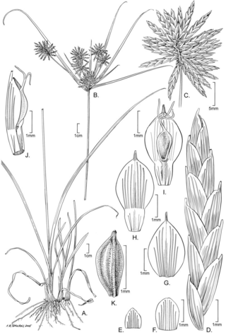 Cyperus pulguerensis M.T. Strong