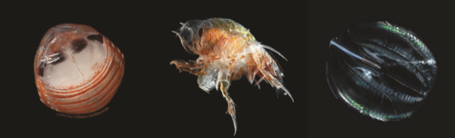 midwater fauna
