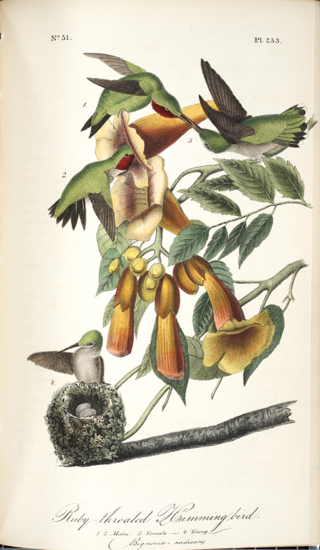 Archilochus colubris (ruby-throated hummingbird) visiting Campsis radicans (=Bignonia radicans, trumpet vine). From J.J. Audubon, The Birds of America: from Drawings Made in the United States and Their Territories, 1840-1844. (Image courtesy of Smithsonian Libraries)