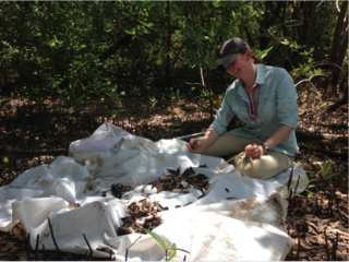 Andreanna Welch sifting through leaf litter in a Jamaican forest