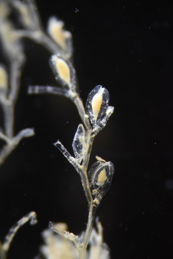 Halecium dubium Fraser, 1941, a colonial hydroid, collected at 3,235 meters depth in the North Atlantic Ocean. This species does not release a swimming medusa stage as part of its life cycle.