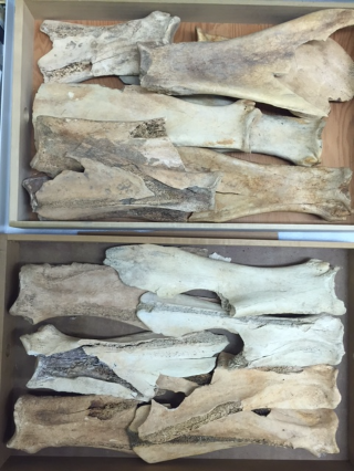 Cataloging the Larson Site: Bone Tool Artifacts - Rogers