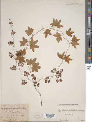 The pterdiophyte collection at the U.S. National Herbarium as been completely imaged. Among the specimens is Lygodium palmatum, one of the relatively few fern species with vine-like climbing leaves. Uncommon throughout most of its range, this was the first plant to be protected by law in the United States in 1869.