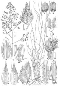 Eragrostis