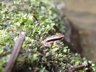juvenile Sylvirana nigroviatta at streams edge