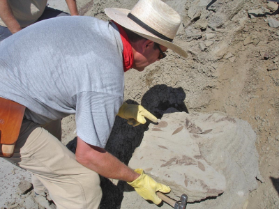Kirk Johnson points to a fossil leaf on a newly-split slab of rock