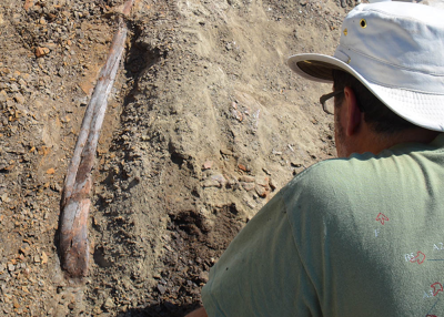 Matthew Carrano examines a partially-excavated dinosaur rib.