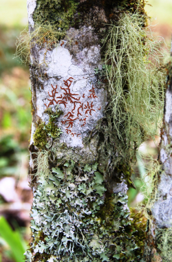 Many epiphytic lichens growing closely together in Las Alturas Biological Station in southern Costa Rica. This image clearly illustrates the different lichen growths: crustose (crust-like), foliose (leaf-like) and fruticose (shrub-like). (photo by Manuela Dal Forno)