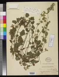 Astrochlaena menispermoides collected during the Smithsonian African Expedition, under the direction of Col. Theodore Roosevelt (1909-1910)