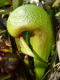 Darlingtonia californica (photo by Bort Edwards)