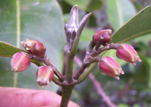 Flowers of Melicope oppenheimeri. (photo by Hank Oppenheimer)