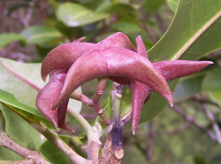 Melicope oppenheimeri fruit, showing beaked carpels. (photo by Hank Oppenheimer)