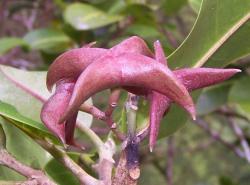 Melicope oppenheimeri fruit, showing beaked carpels. (photo by Hank Oppenheimer)