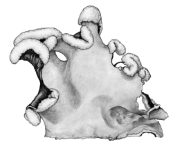Parmotrema perlatum (illustration by Alice Tangerini)