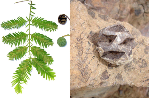 Images of a fossil cone and foliage from a Metasequoia tree and foliage and cones from a modern dawn redwood.