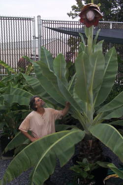 Greenhouse Manager Mike Bordelon examines a specimen of Ensete aff. superbum (Musaceae). (photo by Leslie Brothers)