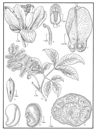Serjania laruotteana (Illustration by Alice Tangerini)