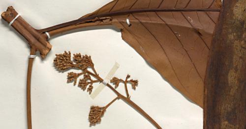 Cinchona micrantha 02364440 detail