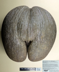 A palm tree native to the Republic of Seychelles Islands, the Coco de Mer (Lodoicea maldivica) produces what are considered to be the largest seeds in the world. The specimen in the exhibition weighs 16 pounds, but seeds weighing over 60 pounds have been recorded in nature.