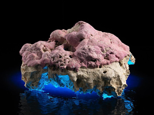 Coralline algae of the genus Clathromorphum are specific to the Arctic and Subarctic, and they have critically important stories to tell about their ocean and how it has changed over the centuries. (photo by James Di Loreto)