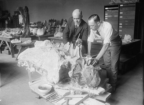 Gilmore and Boss discuss the large vertebrae of Diplodocus, still partly embedded in rock, 1924