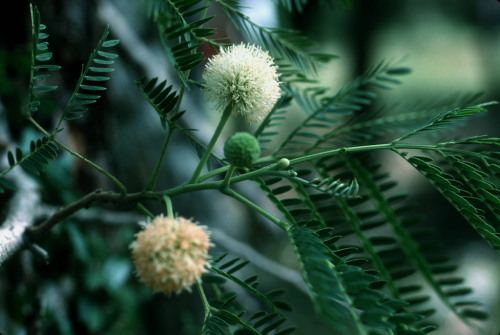 Leucaena leucocephala (Fabaceae) on the island of St. John, U.S. Virgin Islands. Compared to other plant families, Fabaceae has the largest number of invasive species on nine islands in the West Indies, and L. leucocephala is the most widely distributed. (photo by Pedro Acevedo)