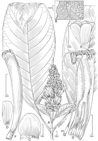 Sanchezia fosteri Wassh. (Illustration by Alice Tangerini))