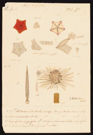 Drayton, Joseph.Botany: Echinoderms, drawings by Joseph Drayton.(1838-1839)http://biodiversitylibrary.org/page/53640152.