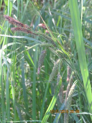 Carex_darwinii