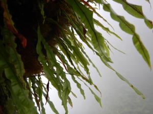 Oleandra sibbaldii. (photo by Eric Schuettpelz)