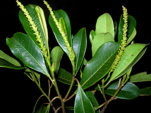 Habit, with paired branching and staminate inflorescences, of Incadendron. (photo courtesy of Jason Houston)