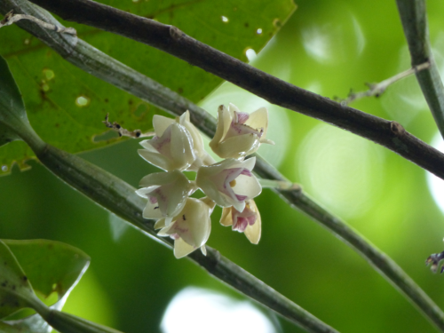 Dendrobium brachyanthum Schltr., an endemic epiphytic orchid found at the Ngardok Nature Reserve on Babeldaob Island in Melekeok State, Palau. (photo by Benjamin J. Crain)