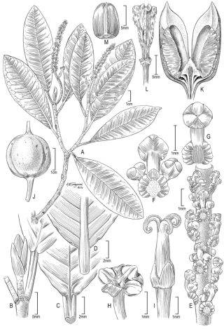 Illustration of Incadendron esseri. (illustration by Alice Tangerini)