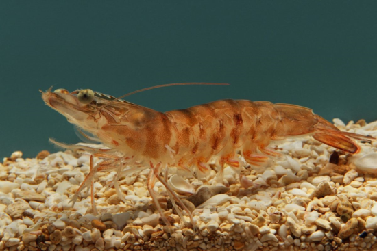 Farfantepenaeus notialis, one of the penaeoid shrimp species to be described by Isabel in 1967. (Credit: Monterey Bay Aquarium/Randy Wilder)