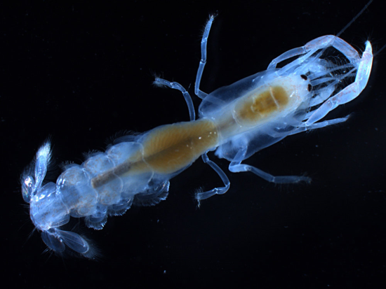 Neocallichirus moluccensis_Biocode