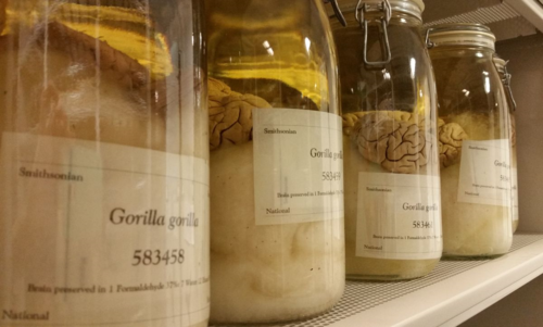 Gorilla brains from the collection.  Credit: Esther M. Langan, Smithsonian Institution.